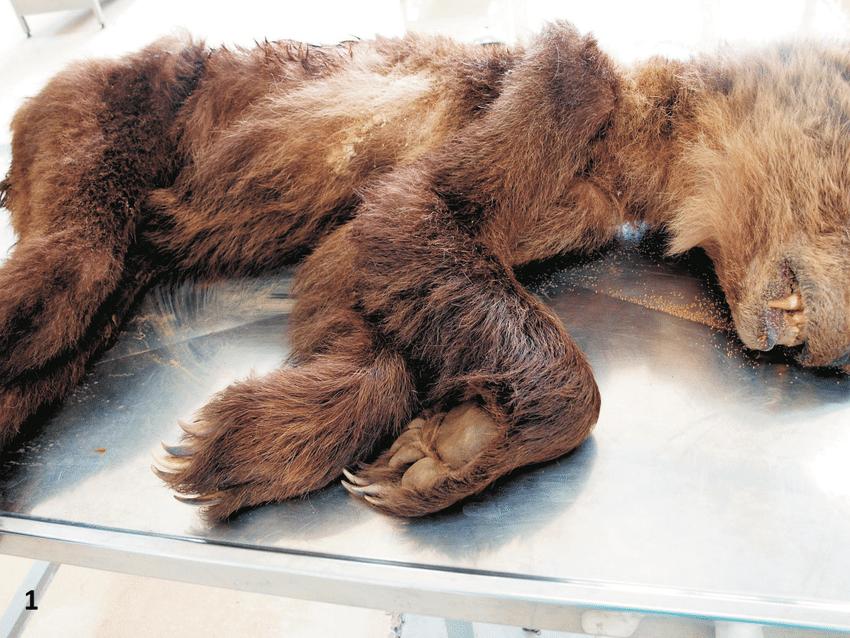 brown bear diagram 1991 volvo 740 radio wiring european ursus arctos animal in poor body condition with extensively pronounced