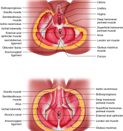 21 muscles of perineum [ 850 x 1053 Pixel ]