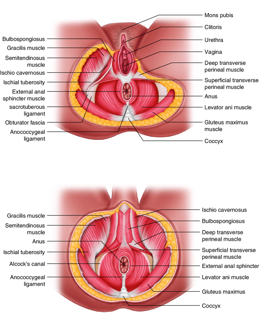 hight resolution of 21 muscles of perineum