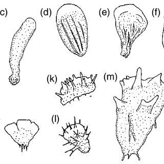 Basic types of nuclei in lobose amoebae. (a) Vesicular