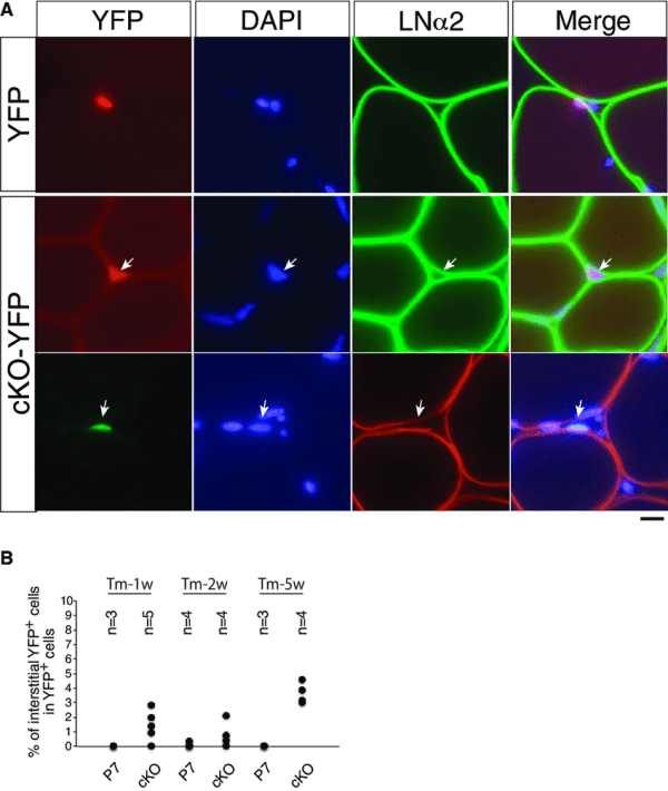 Detection Of Interstitial Muscle Stem Cells In Calcr