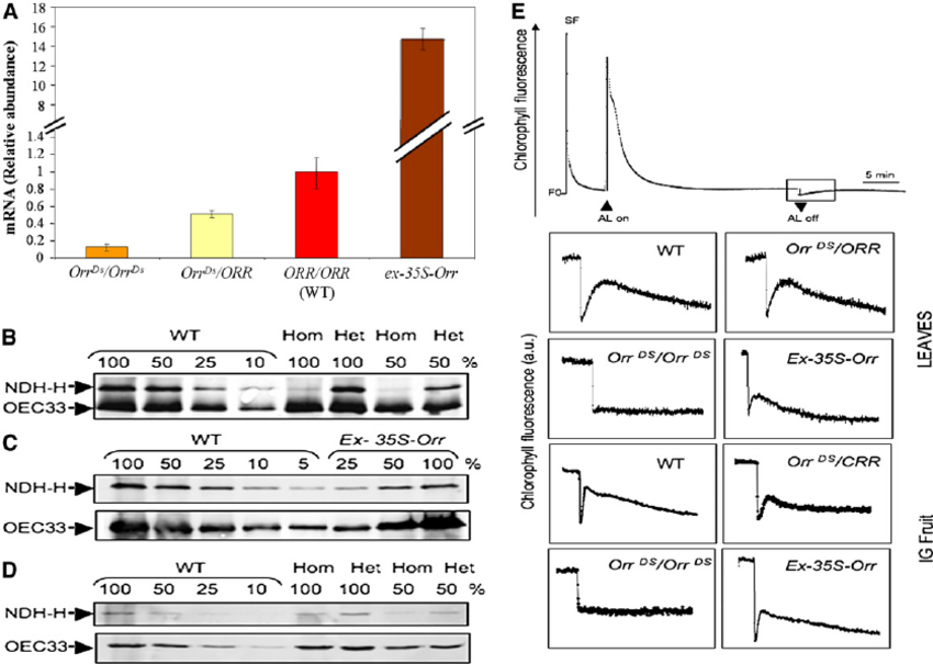 ORR Gene Expression and Activity and Levels of the Ndh