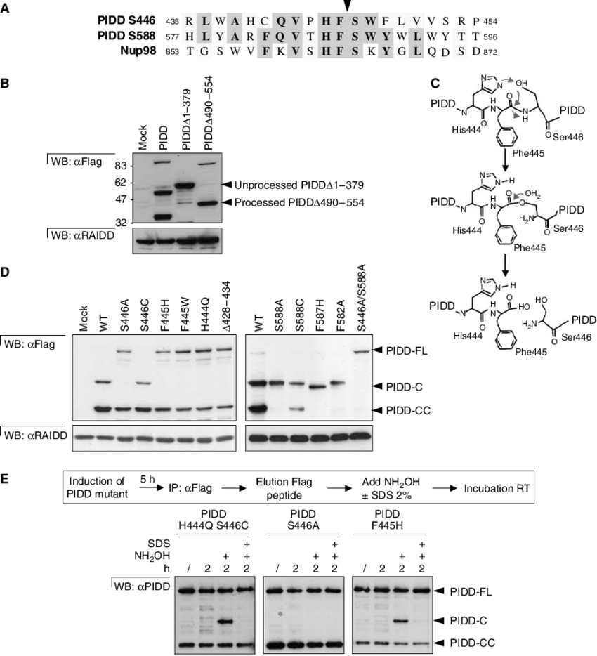 medium resolution of pidd undergoes auto processing at ser446 and ser588 a alignment of amino