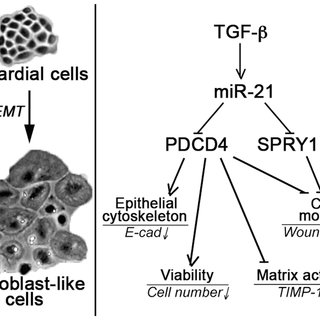 PDCD4 and SPRY1 regulate biomarkers of fibrogenic EMT in