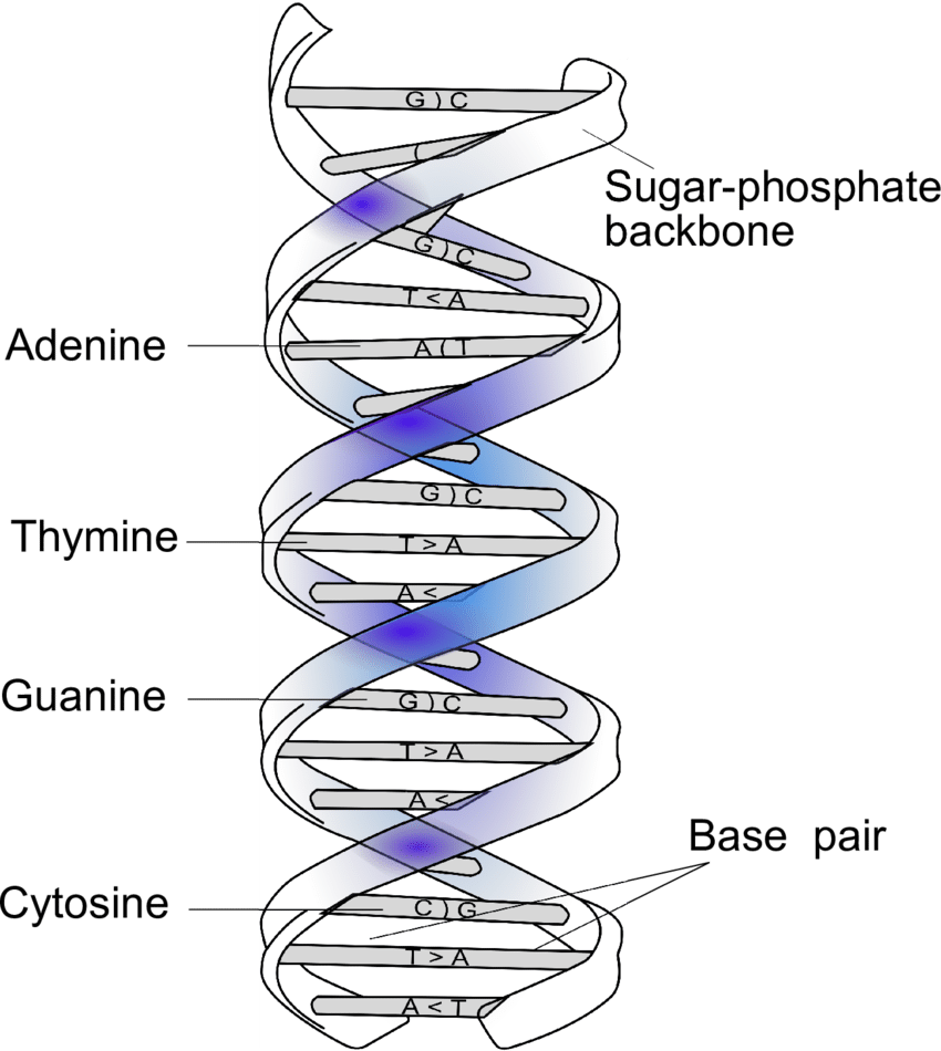 hight resolution of 1 double helical structure of dna and complementary base pairing base a adenine