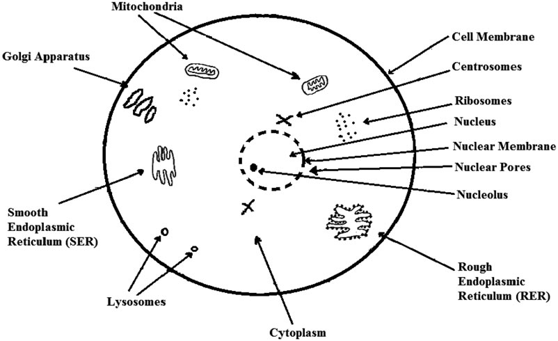 A diagram of the animal cell structure with key organelles