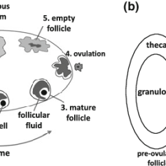 Menstrual Cycle Diagram With Ovulation Defy Stove Wiring A Schematic Showing How The Corpus Luteum Cl Forms After In Ovary At End Of Follicular Phase