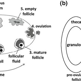 menstrual cycle diagram with ovulation hopkins 7 way trailer plug wiring a schematic showing how the corpus luteum cl forms after in