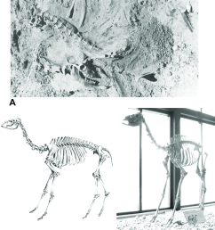 skeleton of juvenile camel camelops hesternus from the edith rh researchgate net camel muscle diagram sheep skeleton diagram [ 850 x 1035 Pixel ]