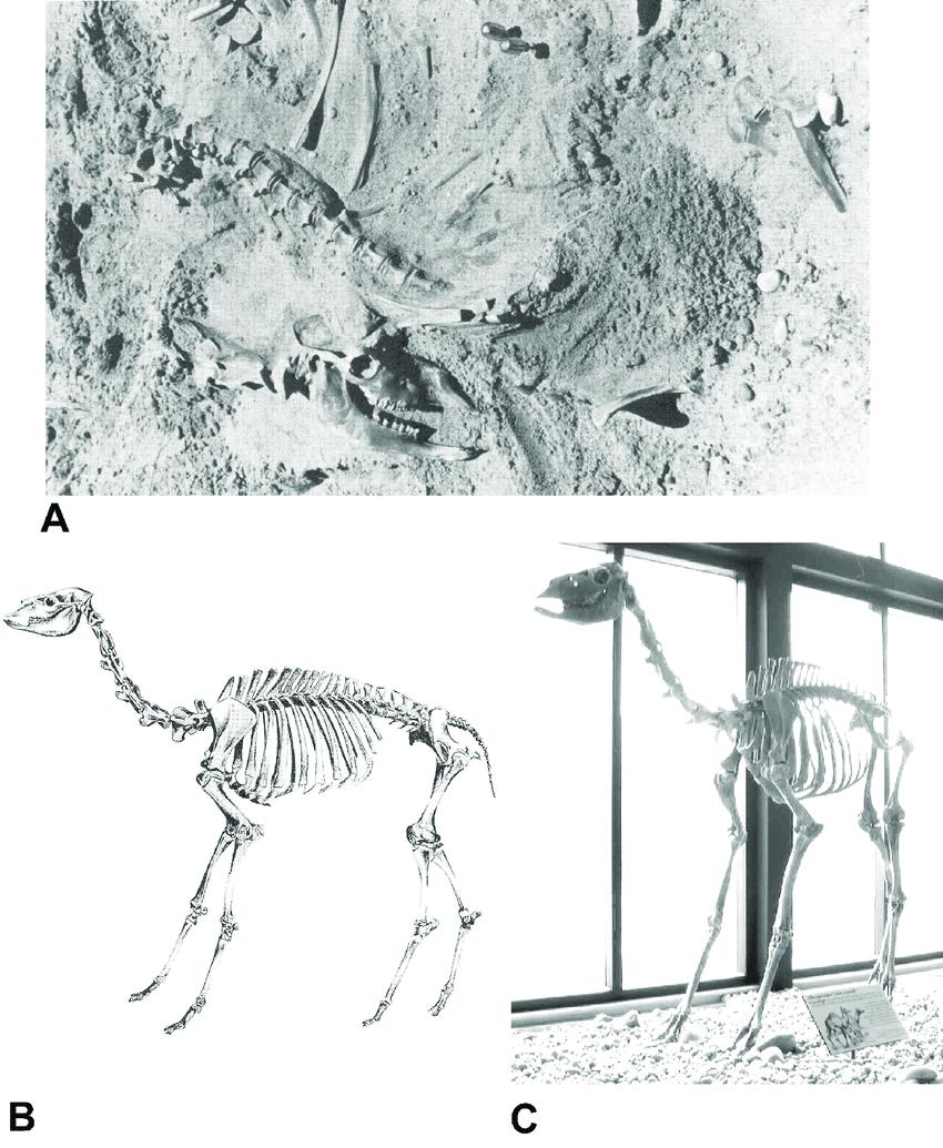 medium resolution of skeleton of juvenile camel camelops hesternus from the edith rh researchgate net camel muscle diagram sheep skeleton diagram