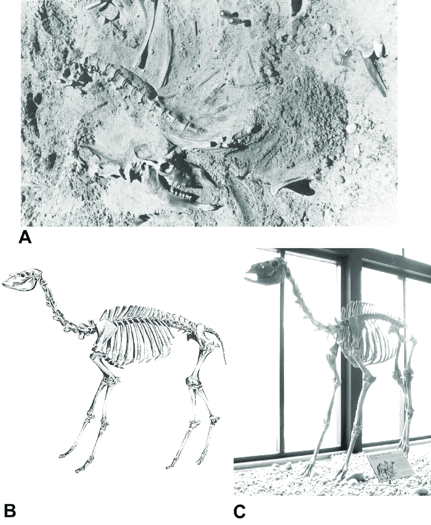 hight resolution of skeleton of juvenile camel camelops hesternus from the edith rh researchgate net camel muscle diagram sheep skeleton diagram