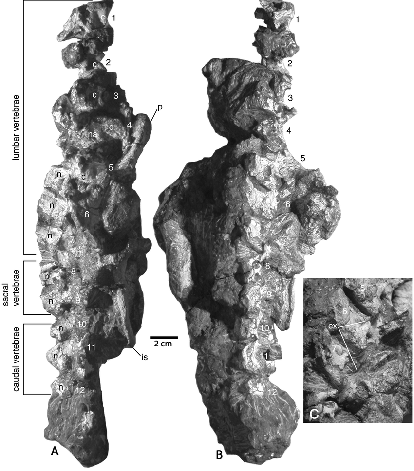 hight resolution of a c vertebral column and pelvis a b vertebral column in a left lateral and b dorsal views c close up of dorsal neural spine and arch in dorsolateral