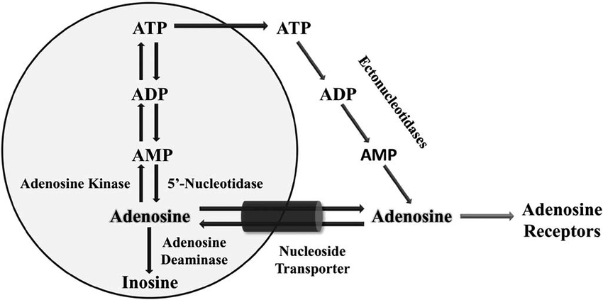 Adenosine production, transport and metabolism. The