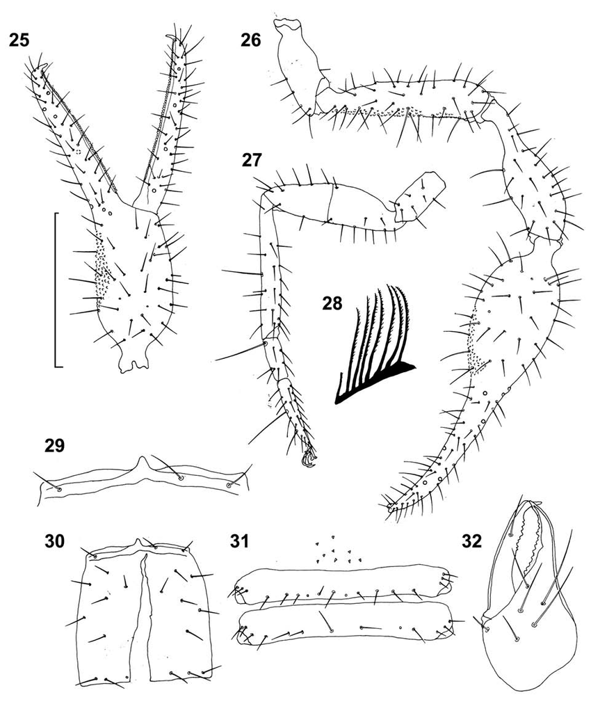 Figs 25 32 roncus crnobog n sp paratype female from