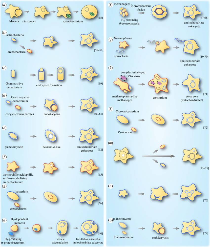 hight resolution of models describing the origin of the nucleus in eukaryotes a o schematic of various