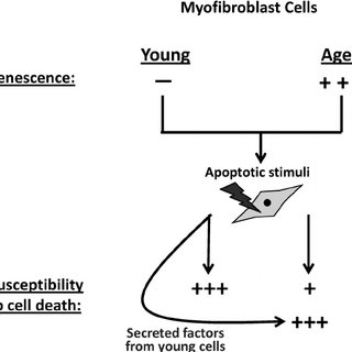 (PDF) Secreted factor(s) from young cells restores