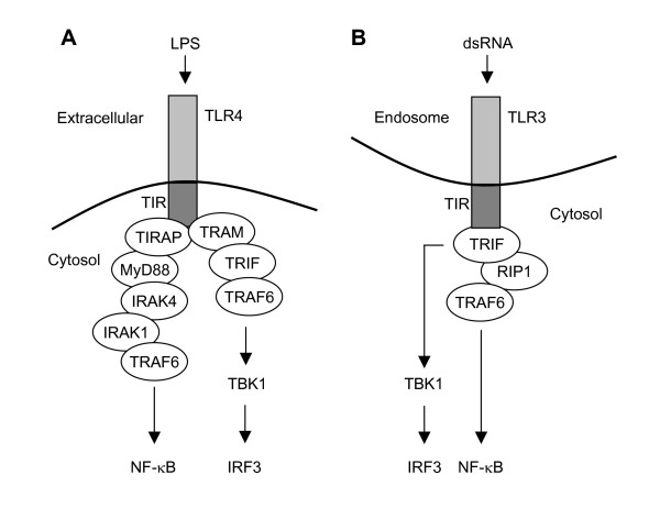 TLRs mediate activation of NF-κB- and IRF-related gene