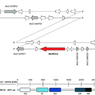 Schematic presentation of the MoPKS19 gene cluster in the