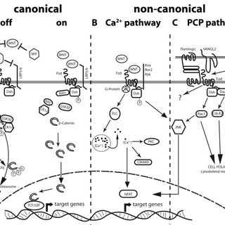 Schematic junctional organization and β-catenin signaling