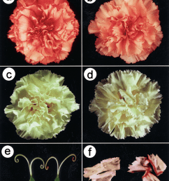 flower color modification of anti f3h transgenic carnation a flower download scientific diagram [ 850 x 1027 Pixel ]