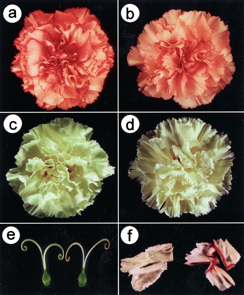 hight resolution of flower color modification of anti f3h transgenic carnation a flower download scientific diagram