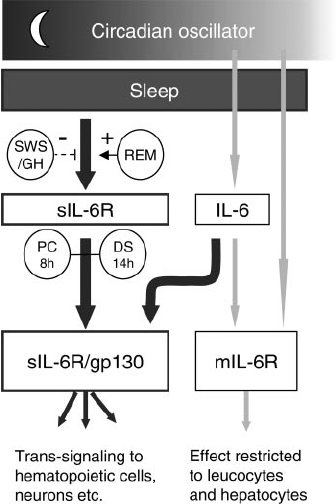 Proposed mechanism of action. Effects of sleep and