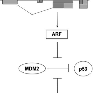 Schematic model for p53 activation by Nutlin-3a. The