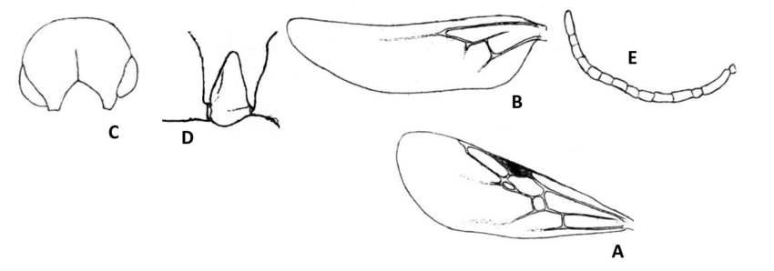 Figure-A: Forewing; B: Hindwing; C: Hypostoma ventral view