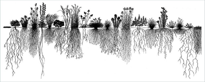 The root systems of different prairie plants. Modified