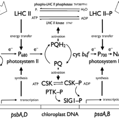 Light Reactions Photosystem Diagram Intel Motherboard Circuit Pdf Interactions Of Photosynthetic Electron Carriers With Redox Photosynthesis Are Represented As Transport From H 2 O To Nadp Via