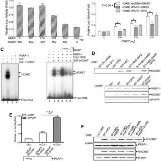 (PDF) ADP ribosylation by PARP-1 suppresses HOXB7