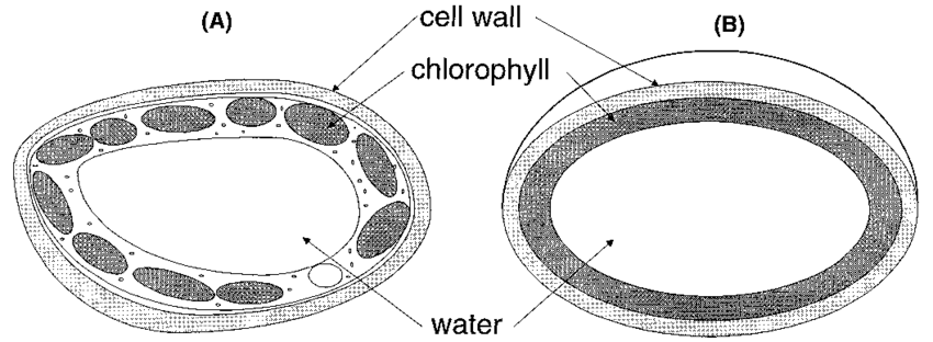 A Schematic representation of a mesophyll leaf cell