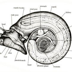 Slug Anatomy Diagram Electrical Utility Pole Gastropod Biomphalaria Internal Download Scientific