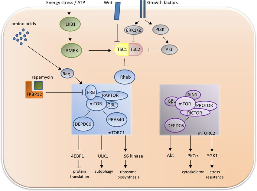 General overview of mTOR activators inhibitors and ...