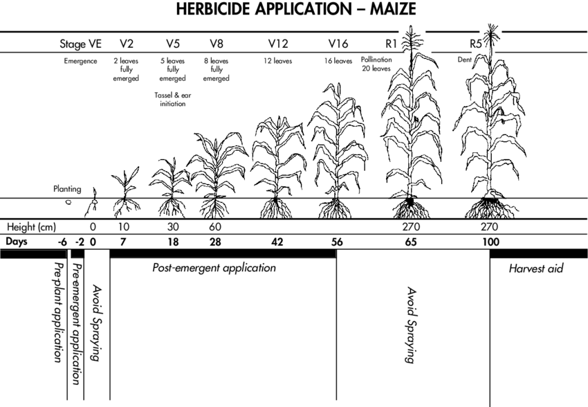 illustrates the complete life cycle of maize from