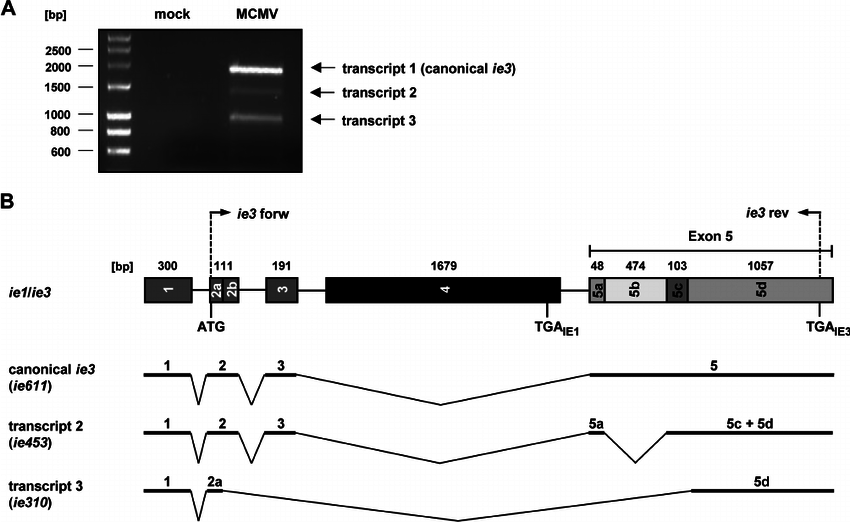 Identification of novel MCMV ie3 isoforms. (A) RT-PCR