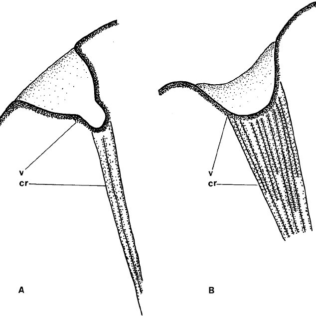 Morphology and infraciliature of Dasytricha spp. A. D
