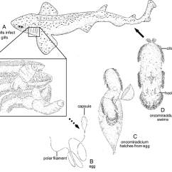 Tiger Shark Life Cycle Diagram Door Hardware Of A White Wiring Diagrams 19 Hexabothrium Appendiculatum Hexabothriidae Rh Researchgate Net Great Whale