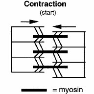 FIG 1 A Myofibril Section Of Skeletal Muscle Dark Bands Contain