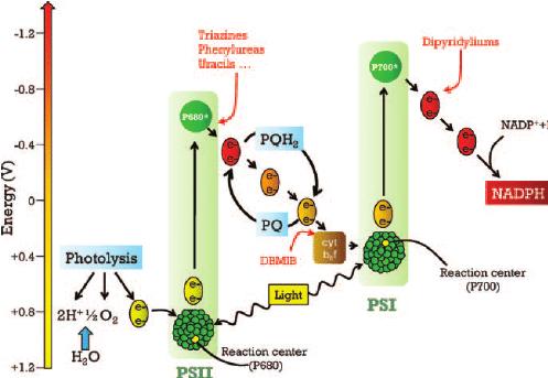 photosynthesis z scheme diagram uart timing of the z-scheme describing hill reaction. sites of... | download scientific