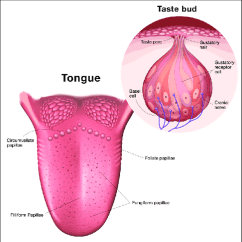 Human Taste Buds Diagram 3 Phase Dol Starter Wiring Tongue Anatomy Of Papillae And Circumvallate Download Scientific