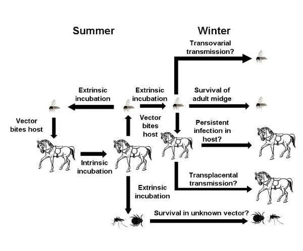 The normal transmission cycle of African horse sickness