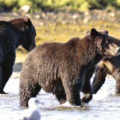 Brown Bear Diagram Second Floor Bathroom Plumbing Mother Left And Her 3rd Year Twins Fishing For Salmon In Download Scientific