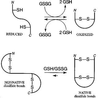 Reactions catalyzed by PDI in vitro. PDI catalyzes the