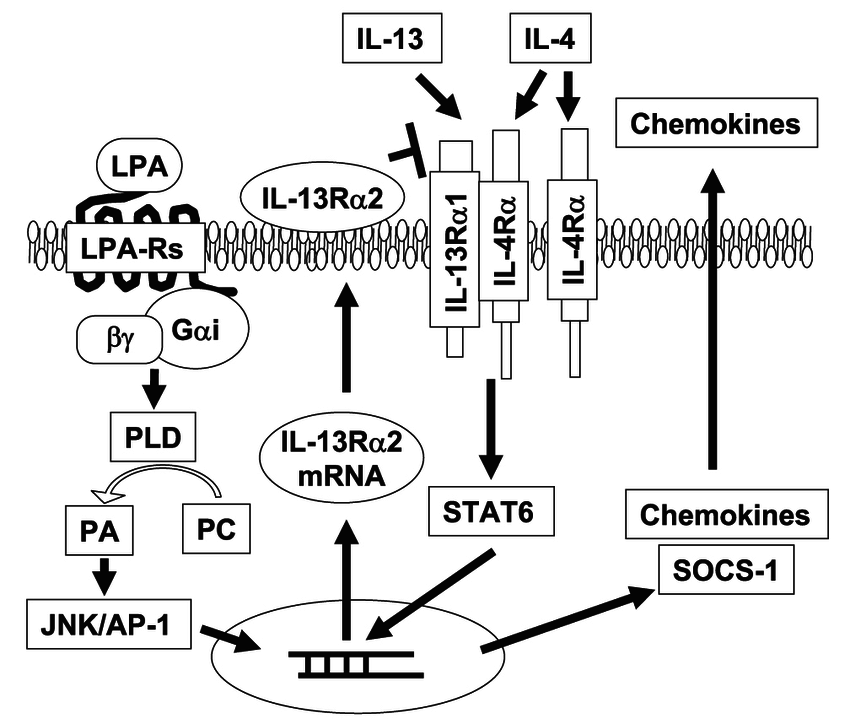 Mechanisms of LPA signaling in IL-13R α 2 expression and
