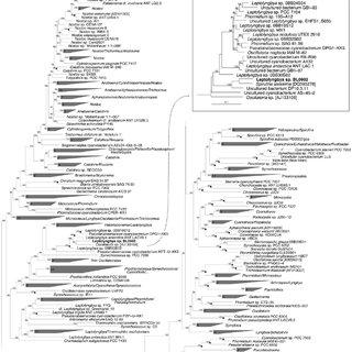 (PDF) Gene Transfer in Leptolyngbya sp. Strain BL0902, a