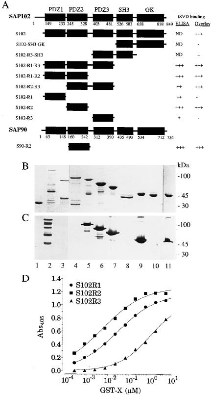 The Cytoplasmic Tail Sequences of NR2B Bind All Three PDZ