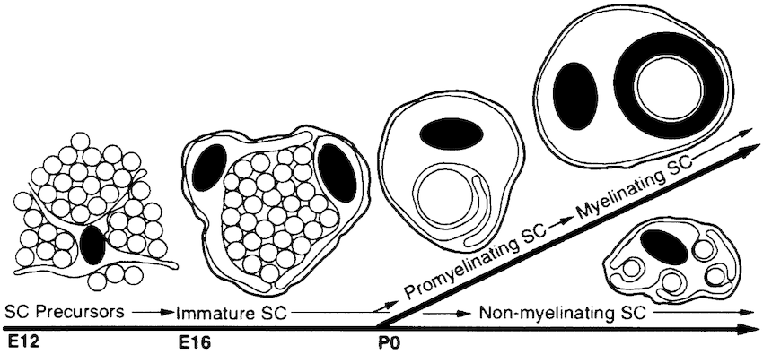 Schematic representation of the stages of Schwann cell