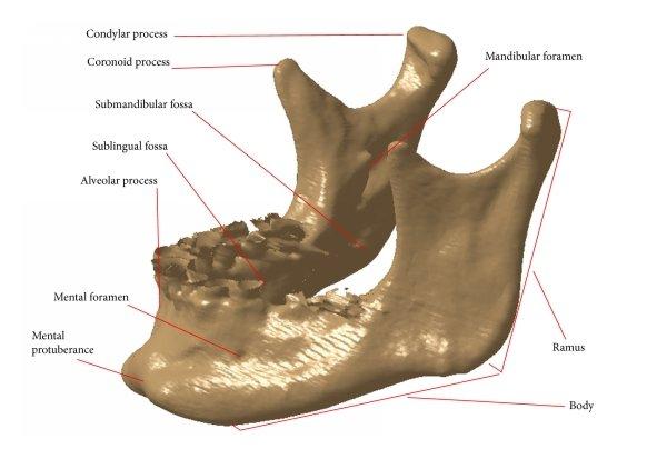 human mandible diagram harp seal life cycle anatomy of download scientific