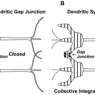 (A) Dendrites of adjacent neurons linked by gap junction